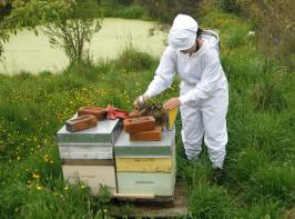 Bee keeper working at bee hives